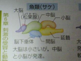 小脳:運動の調節中枢、平衡を保つ中枢